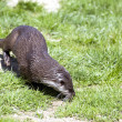 Otter foraging for food — Stockfoto #7129885