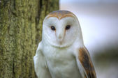 Lovely close up of barn owl with superb detail — Stock Photo