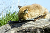 Beautiful golden red fox in natural habitat — Stock Photo