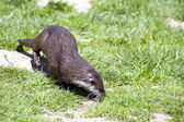 Otter foraging for food — ストック写真