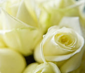 Beautiful soft close up of white wedding rose — Stock Photo