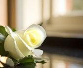 Macro close up of white wedding buttonhole rose — Stock Photo