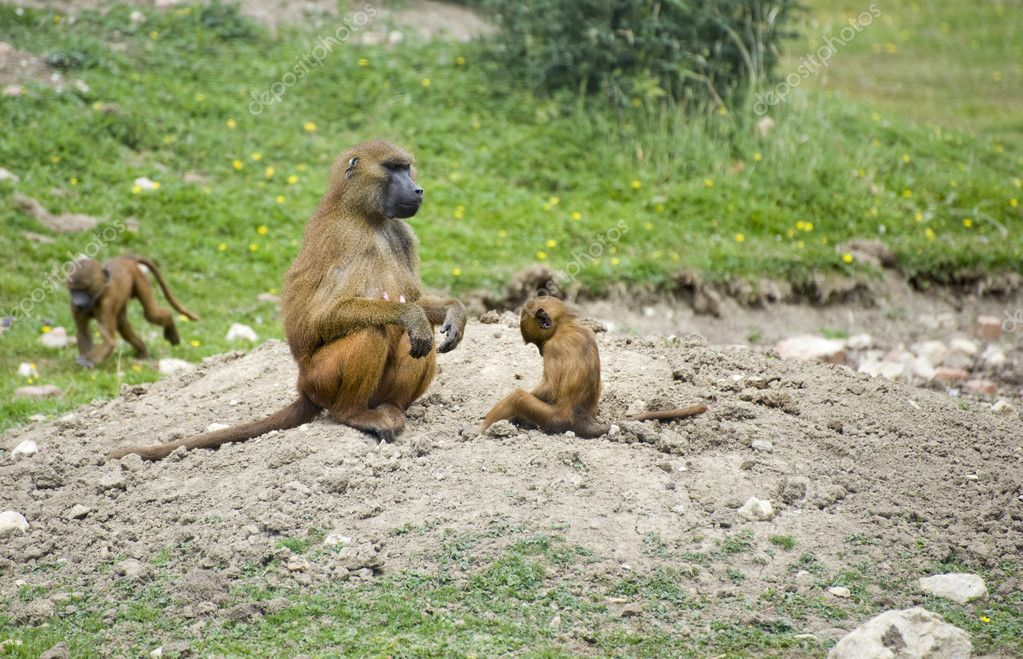 Troop of gelada baboons in captivity — Stock Photo #7127702