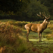 Majestic red deer during rut season October Autumn Fall — Stock Photo #7130044