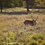 Majestic red deer during rut season October Autumn Fall — Stock Photo