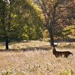 Majestic red deer during rut season October Autumn Fall — Stock Photo #7130489