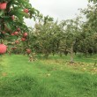 Lovely apple orchard in Autumn Fall with ripe fruit - Stock Photo