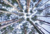 вид, глядя на небо через высоких сосновых деревьев навесом — Стоковое фото