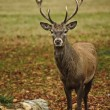 Frontal portrait of adult red deer stag in Autumn Fall — Stock Photo #7535123