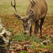 Frontal portrait of adult red deer stag in Autumn Fall — Stock Photo #7535136