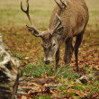 Frontal portrait of adult red deer stag in Autumn Fall — Stock Photo