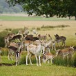 Herd of fallow deer around watering pond in Autumn Fall meadow — Zdjęcie stockowe