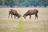 Pair of young red deer stags jousting in Autumn Fall — Stock Photo