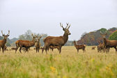 Herd of red deer stags and does in Autumn Fall meadow — Stock Photo
