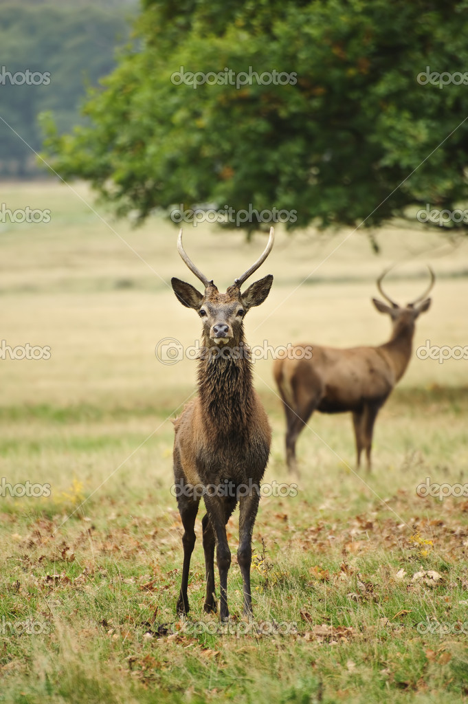 Portrait of adult red deer stagi n Autumn Fall forest — Stock Photo #7535149