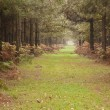 Long path through pine tree forest in Autumn Fall — Stock Photo