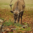 Frontal portrait of adult red deer stag in Autumn Fall - Stock Photo