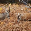 Red deer stags jousting with antlers in Autumn Fall forest meado — Stock Photo #7629866