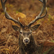 Portrait of majestic red deer stag in Autumn Fall — Stock Photo #7629873