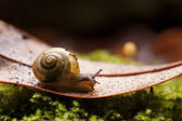 Stunning macro of common garden snail on fallen leaf — Stock Photo