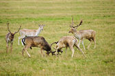 Fallow deer stags antler jousting in Autumn Fall — Stock Photo