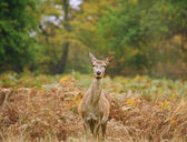 Beautiful image of red deer female does in Autumn Fall forest — Stock Photo