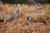 Red deer stags jousting with antlers in Autumn Fall forest meado — Stock Photo