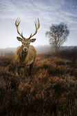 Foggy misty Autumn forest landscape at dawn with red deer stag — Stock Photo