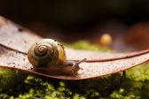 Common garden snail macro on Autumn leaf — Stock Photo