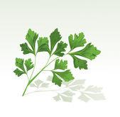 Parsley branch — Stock Vector