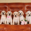 Five adorable labrador puppies — Stock Photo