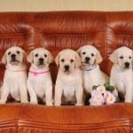 Five adorable labrador puppies — Stock Photo #6842332