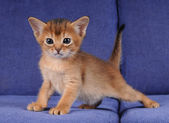 Little abyssinian kitten ruddy color — Stock Photo