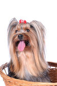 Yorkshire terrier in the basket isolted on white — Stock Photo