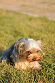Ashamed yorkshire terrier — Stock Photo