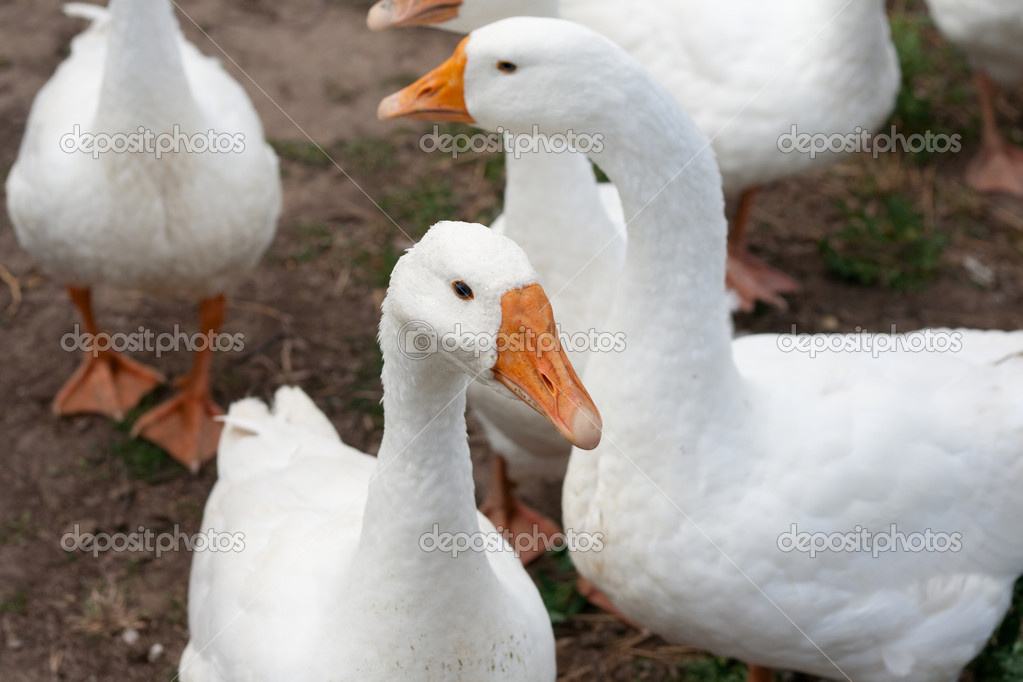 Some white gooses — Stock Photo #7185857