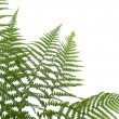 Border of ferns — Stock Photo