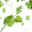 Grape-leaves — Stock Photo
