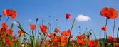 Red poppie against a blue sky — Stock Photo
