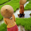 Stock Photo: Rice-field