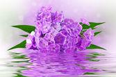 Krásné phlox — Stock fotografie
