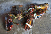 Live lobsters — Stock Photo