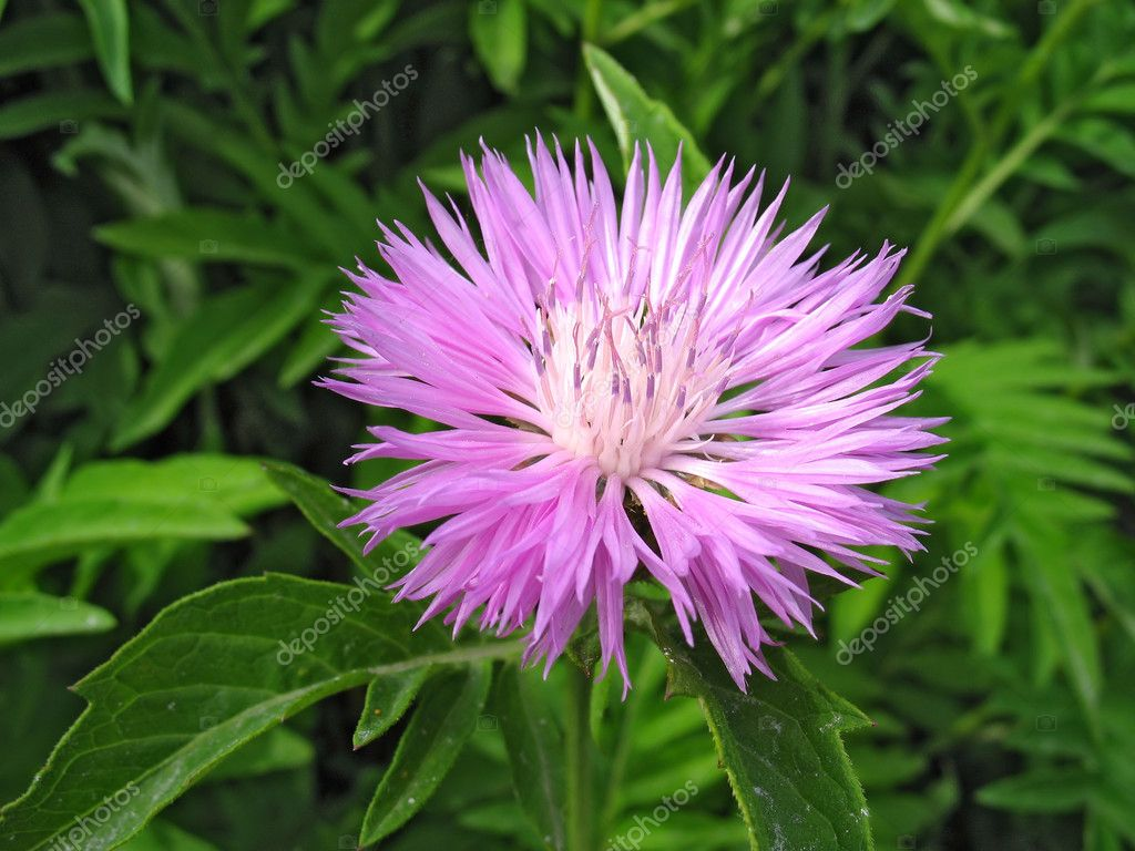 Close-up of cornflower (Centaurea  montana) against green grass background — Stock Photo #6869637