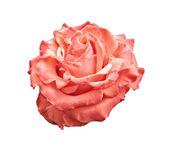 Pink and orange rose isolated on white — Stock Photo