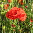 Red poppy flower against green grass — Foto de Stock