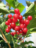 Viburnum bunch against green leaves background — Stock Photo