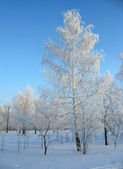 Winter forest. Frosty birchs — Stock Photo