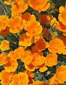 Orange eschscholzia (Eschscholzia Californica) -flower background — Stock Photo