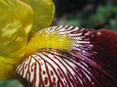 Close up of yellow iris stamen — Stock Photo