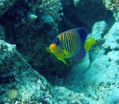 Regal angel fish — Stock Photo